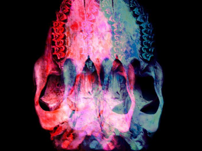 bottom of animal skull layered